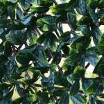extendable hedge laurel close up 700px