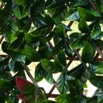 extendable hedge autumn close up 700px