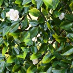 extendable hedge summer close up 700px